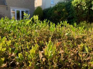 Read more about the article Hope in the Box: How my hedge helped me feel better about Coronavirus