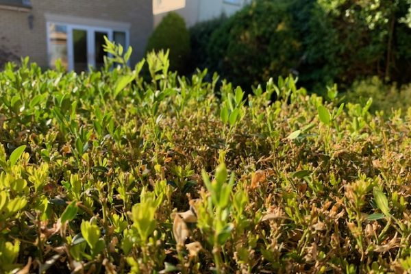 Hope in the Box: How my hedge helped me feel better about Coronavirus